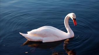 лебедь, озеро, белый