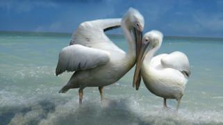 пара, белые, влюбленные, любовь, пеликаны, фон, две, птицы, небо, море, прибой, ласка, двое, поза