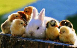 рисованное, животные, цыплята, кролик