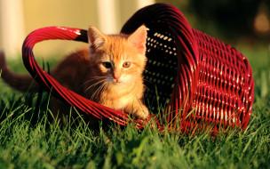 лужайка, трава, корзина, котенок, рыжий