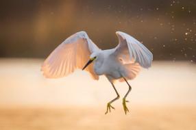 крылья, свет, цапля, белая