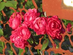 цветы, розы, лето, 2018