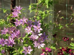 цветы, клематис , ломонос, лето, 2018
