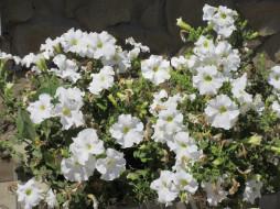 цветы, петунии,  калибрахоа, лето, 2018