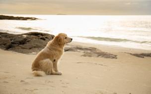 обои для рабочего стола 2880x1800 животные, собаки, labrador, seascape, retriever, пляж, лабрадор, beach, dog, golden, собака, summer, море, песок, ретривер, лето, sand, sea