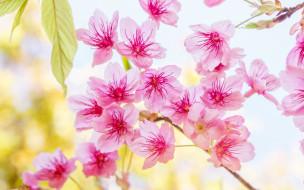 ветки, цветение, sakura, spring, blossom, pink, cherry, bloom, сакура, весна