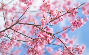 spring, blossom, сакура, ветки, sakura, цветение, pink, cherry, bloom, весна
