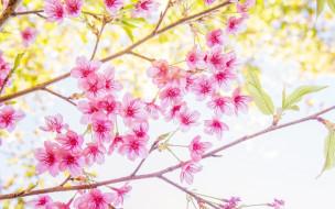 blossom, bloom, весна, cherry, sakura, ветки, цветение, spring, сакура, pink
