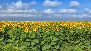поле, Подсолнухи