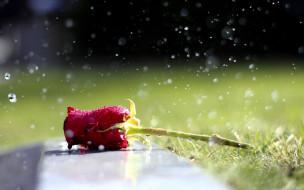 роза, красная, трава, капли, дождь