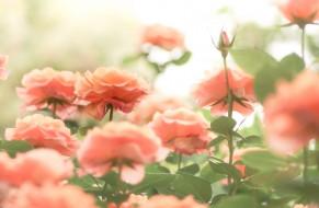 лето, природа, цветение, цветы, Розы