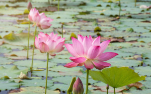 бутоны, лотос, розовый, pink, lotus, lake, petals, flowers, озеро, waterlily, цветы