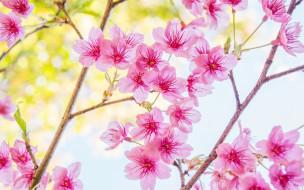 bloom, сакура, spring, cherry, blossom, sakura, ветки, цветение, pink, весна