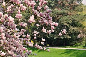 цветение, природа, Магнолии, цветы, весна