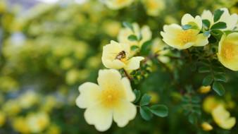 размытый фон, кусты, листья, пчелка, пчела, желтый, цветение, насекомое, шиповник, сад, природа, фон, ветка, цветы