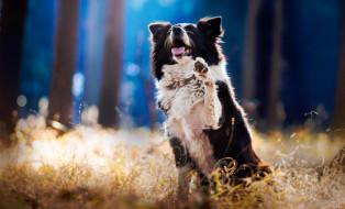 собака, пес, бордер-колли, лес, трава, лапа