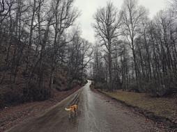 лес, дорога, собака