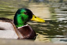 животные, утки, удочка, вода, птица, водоем