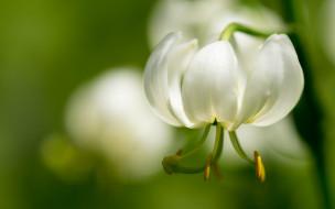 белая, лепестки, тычинки, макро, боке, лилия