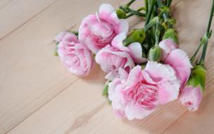гвоздики, бутоны, розовые, wood, pink, flowers, цветы
