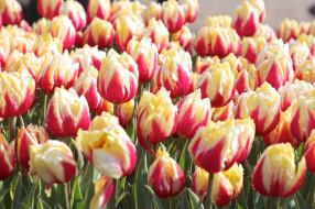 цветы, тюльпаны, цветение, много, разноцветные, лепестки