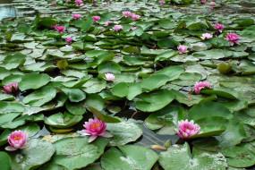 цветы, лилии водяные,  нимфеи,  кувшинки, цветение, листья, водяные, лилии