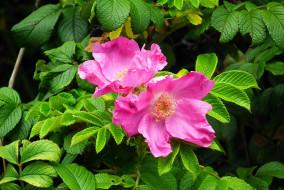 цветы, розы, лето, цветение, куст, роза