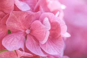 цветы, гортензия, макро, розовый