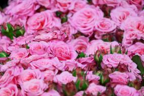 цветы, розы, лето, цветение, бутоны, розовый