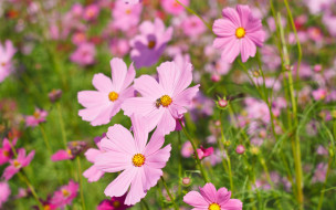 pink, поле, summer, field, meadow, розовые, colorful, луг, цветы, flowers, лето, cosmos