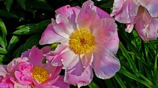 лепестки, макро, розовые, Пионы