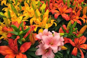 лилии, разноцветный, лепестки