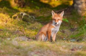 лисица, животное, хитрая