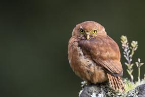животные, совы, сова, рыжая, взгляд