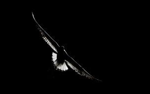 фон, птица, полёт