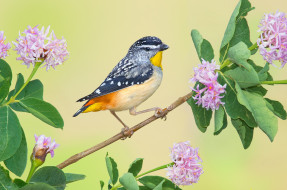 ветка, птица, цветки, Леопардовая радужная птица
