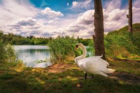 камыш, птица, облака, озеро, лебедь