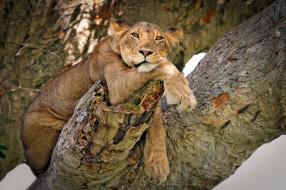 на дереве, модель, дерево, дикая кошка, взгляд, поза, львица