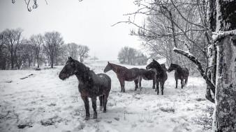 зима, снег, кони
