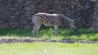 трава, стена, зебра