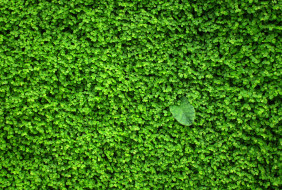 зелень, стена, растение, листочки