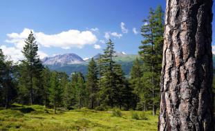 елки, лес, горы