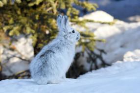 зима, снег, заяц, Аляска