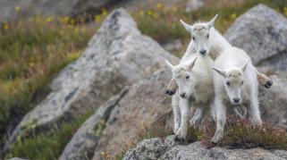 животные, козы, камни, пирамида, трио, козлята, троица