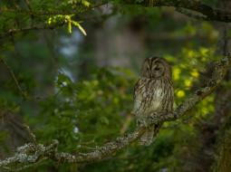 животные, совы, серая, неясыть, ветки, зелень, птица, сова, дерево