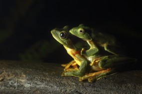 животные, лягушки, legs, eyes, greens, frogs, toads