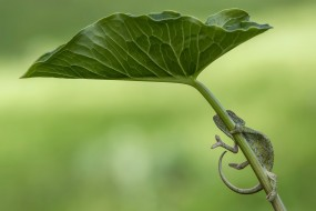 животные, хамелеоны, лист, природа, хамелион