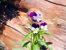 цветы, фиалки, нежный