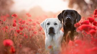 взгляд, лабрадоры, поле, собаки, две, маки, пара, красные, морды, белый, псы, лабрадор, пёс, луг, пес