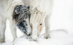 снег, лошади, метель